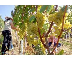 Wein vom Königsboden