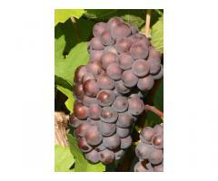 Grauburgunder (Pinot gris) Trauben