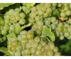 Verkaufe Weintrauben aus Ungarn