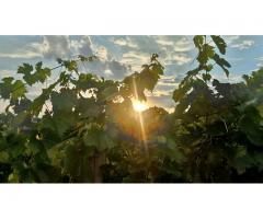 Weingärten gesucht
