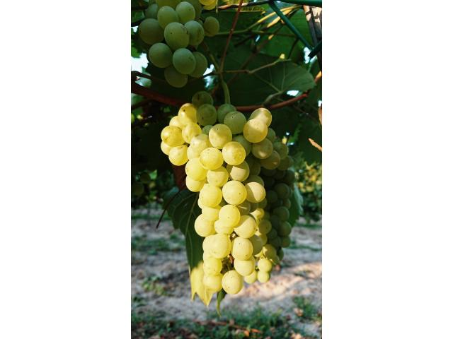 Verkaufe: Gelber Muskateller 2019, Sauvignon blanc 2019
