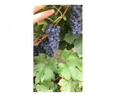 Qualität Rotweine aus Serbien
