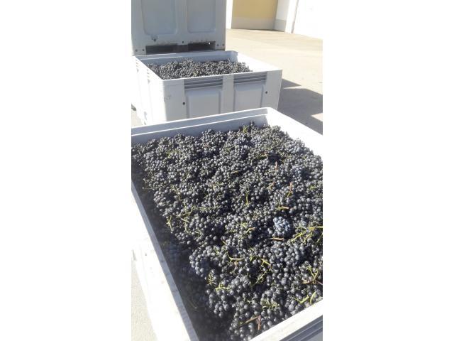 Verkaufe Bio-Trauben Ernte 2020