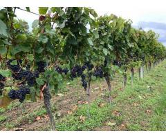 Verpachte Weingarten